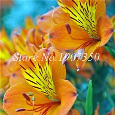 Shopmeeko Graines: Bonsai 100 Pcs Rare Bonsai Alstroemeria Beauté fleurs en pot Balcon Plantation Saisons Bonsai Color Mixed bonsaïs d'intérieur: 5