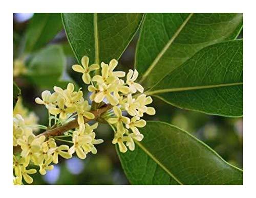 Osmanthus fragrans - olivier odorant - 5 graines