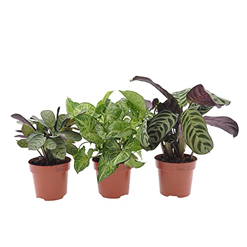 Mix di 3 piante verdi da interni   Ctenanthe burlemarxii, Ctenanthe 'Amagris', Syngonium pixie   Piante con fogliame decorativo   Altezza 20-40cm   Vaso Ø 12cm
