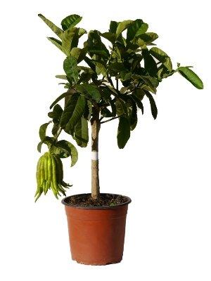 Meine Orangerie Buddhas Hand Zitrone Mezzo - echter Citrusbaum - 70 bis 90 cm - veredelte Citruspflanze - Citrus Medica Digitata - Hand of Buddha - Fruchtreife Zitronen Pflanze in Gärtnerqualität