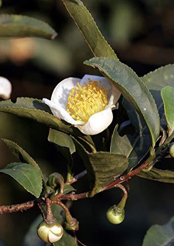 Echter Teestrauch -Camelia sinensis- 5 Samen