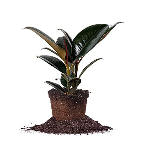 Perfect Plants Rubber Plant | Ficus Elastica 'Burgundy' | Live Indoor Houseplant | Unique Home...