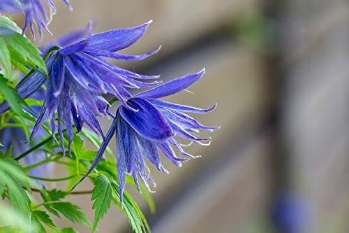 Clematis macropetala Blau 10 Samen, Alpen-Waldrebe, Kletterpflanze