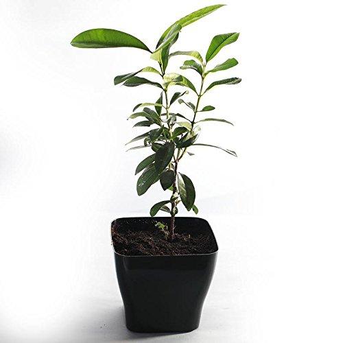 Guru nursery All Spice Plant, Combined flavour of Cinnamon, Nutmeg, Clove