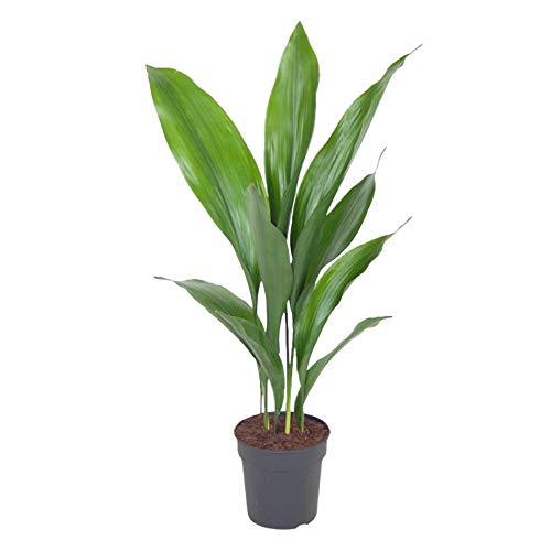 Zimmerpflanze – Schusterpalme – Höhe: 60 cm