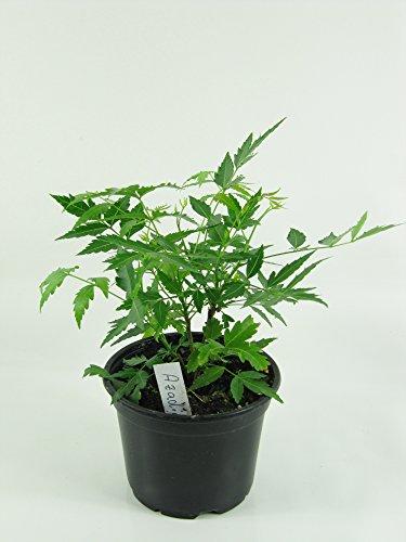 Niembaum, Neem Baum Pflanze (Azadirachta indica), Neem Pflanze