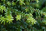 vegherb Tsuga Diversifolia Nord japanische Hemlocktanne...