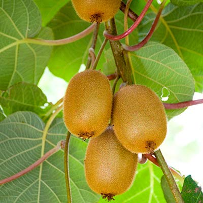 Kiwi Fruit Tree Seeds, 30+ Premium Quality Tree Seeds, 50-70% Germination in Prime Conditions, Actinidia chinensis, (Isla's Garden Seeds)