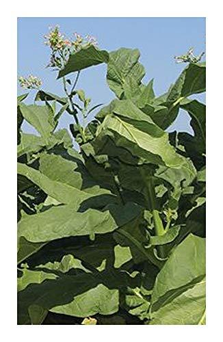 Le sachet de 100 graines de tabac à faire pousser
