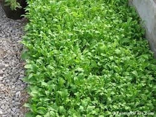 Venta barata The Dirty Gardener Roquette Arugula Herb - - - 1 Pound by The Dirty Gardener  mejor precio