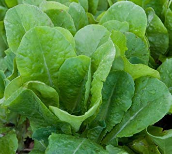 300+BIB BUTTER CRUNCH LETTUCE Seeds Organic Non-GMO Sprouts Microgreens SALE