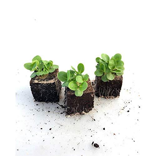 Gemüsepflanzen - Feldsalat - Valerianella locusta - Caprifoliaceae - 12 Pflanzen