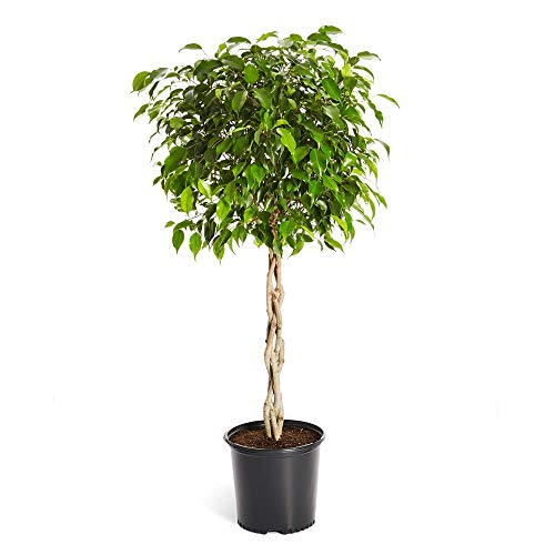Benjamina Ficus Tree- Unique Potted Tree, Perfect as a Patio Plant or Indoor Tree | No Shipping to AZ (2-3 ft.)