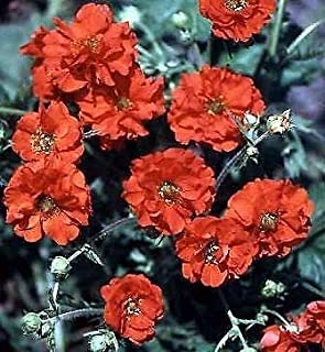 Geum Flora Plena Red Dragon Perennial Flowers Seeds 250 Pcs an