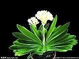 Semi Clivia economici, Bella pianta in Vaso, 24 Colori tra Cui Scegliere, Bonsai Balcone Fiore, Decorazione del Giardino Viola