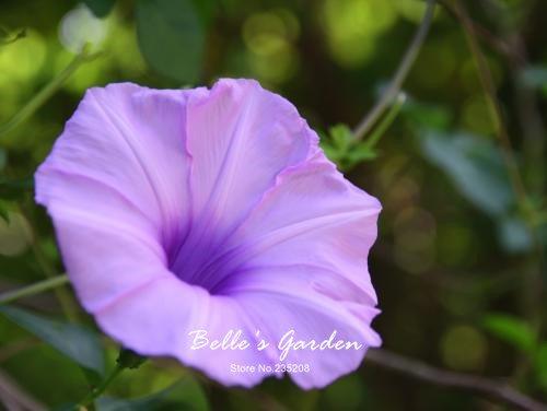 100 pcs/sac graines de pétunia, pétales de double graines de fleurs de pétunia, plante en pot bonsaï vivaces pour le jardin de la maison 10
