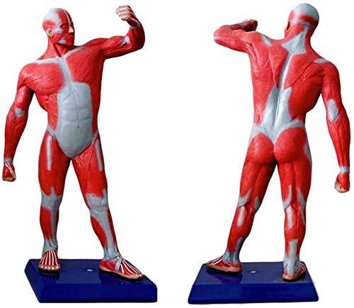 Modelo de estudio Figura muscular humana de 50 cm: el modelo del sistema muscular tiene anatomía muscular superficial y estructura del cuerpo - Modelo de visualización de movimiento muscular humano en
