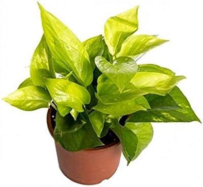 "Leafytales Indoor Pothos Golden Money Plant Without Plastic Pot"""