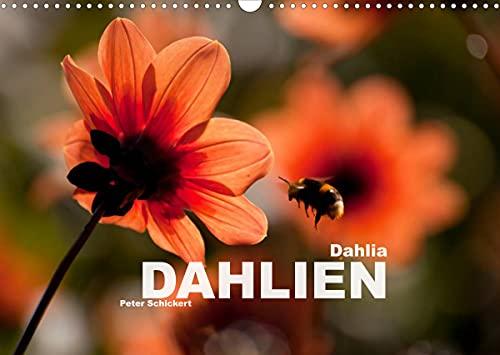 Dahlia - Dahlien (Wandkalender 2022 DIN A3 quer)