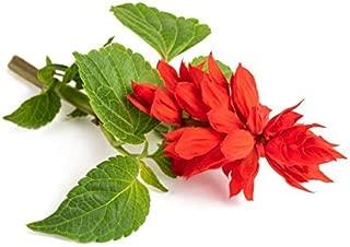 100 Scarlet Sage Seeds - Tropical Sage, Blood Sage, Texas Sage, Salvia Coccinea - by RDR Seeds