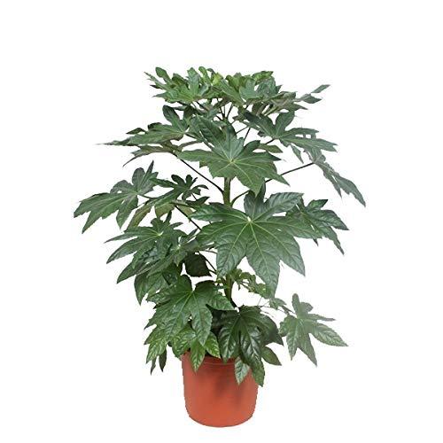 Kamerplant van Botanicly – Vingerplant – Hoogte: 100 cm – Fatsia japonica