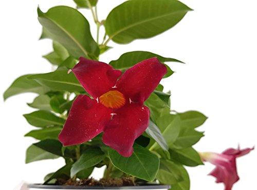 Dipladenia 'Sundaville Red' - wunderschöne Kletterpflanze mit außergewöhnlichen dunkelroten Blüten - ideal für Garten, Balkon oder Terrasse