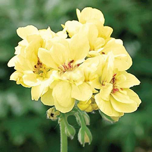 Geranie, erste Yellow.one der härtesten Farben In Geranium.flower Samen Get For Home Garden.bonsai Pflanzen --20 Seeds