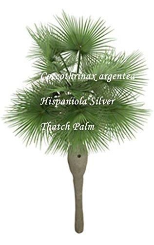 Coccothrinax argentea -Hispaniola Silver Thatch Palm - Samen - (50)
