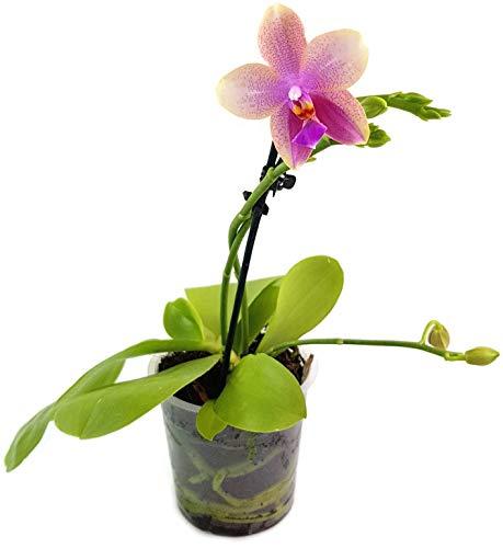 Fangblatt - Phalaenopsis