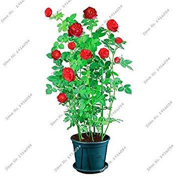 Couleur Graine Rose Bonsai importation d'Afrique Rosas Fleurs vivaces multi intérieur semences jardin Blooming plantes croissance naturelle 50PCS 1