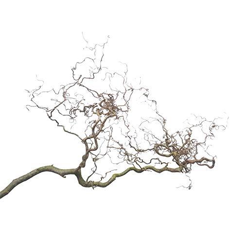 Korkenzieherast (ca. 60-80 cm lang; 40 cm breit): 1 Deko-Zweig - Haselnusszweig als Deko - Fenster-Dekoration - AST-Deko