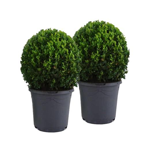 Mein schöner Garten Buchsbaum-Kugel – 2er-Set - Buxus sempervirens – echte Buchsbaum Pflanze – Heckenpflanze – Liefergröße inklusive Topf ca. 30-40 cm - mehrjährig – winterhart