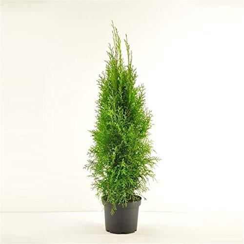 Thuja occidentalis Smaragd 50 cm - Smaragd Lebensbaum