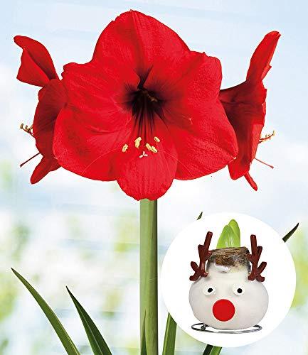 """BALDUR-Garten Wachs-Amaryllis""""X-mas"""" Rentier, 1 Zwiebel rote Amaryllis, Ritterstern Zimmerpflanze"""