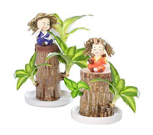 Fazeer Mini Brazil Lucky Wood, Hydroponischer Topfpflanzenstumpf Kleine Mini-Pflanze Indoor Office Desktop-Pflanze, Mini Brazil Lucky Wood Topfpflanze Indoor-Geschenk Zufälliger Mönch