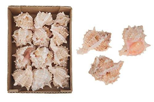 cf-naturecraft Coquillages Rose MUREX 5-7 cm 490g Boîte naturel escargots étoiles de mer décoration aquarium