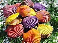 愛媛 宇和海産 天然 ヒオウギ貝 30枚 愛南漁師の贈り物 宇和海の幸問屋