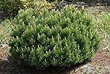 SANHOC Samen-Paket: SwissPine Samen, Pinus mugo, Select 25, 50,,, Seed -