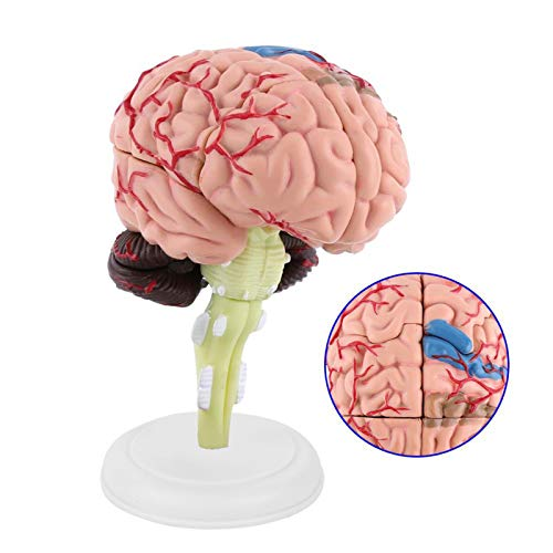Anatomical Brain Model, Disassembled Brain Model, Omes With A White Base, Laboratory for School Home Graduate School