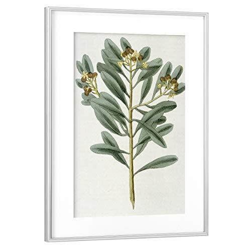 artboxONE Poster mit Rahmen Silber 45x30 cm Zimtpflanze von Culture Images - gerahmtes Poster
