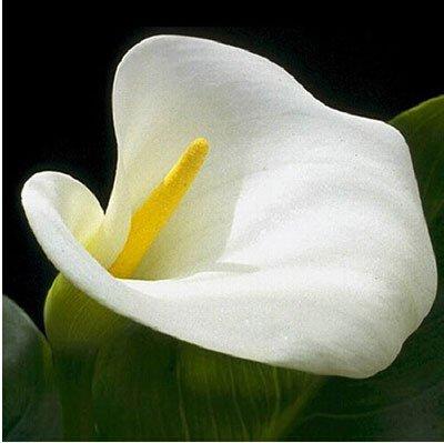 Promotions Bonsai 18 variétés Calla Lily Seed Plantes rares Graines Fleurs (pas Calla Lily bulbes) 120 Pcs Calla Graines