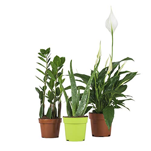 Zimmerpflanzen Set - 3 Mix - Zamioculcas, Spathiphyllum,Aloe Vera - natürliche Deko und Luftverbesserung im Blumentopf - toller Mix aus Tropischen und Orientalischen Pflanzen (SET 13)