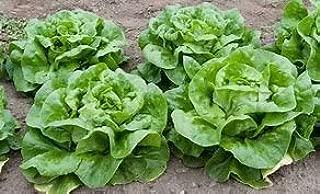 Lettuce White Boston Great Heirloom Vegetable by Seed Kingdom Bulk 1/4 LB Seeds