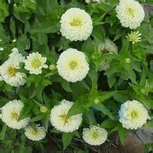 20pc graines de zinnia authentique. fleurs colorées de graines de bonsaï, toutes sortes de couleurs, simples plantation