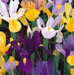 Cottage Garden Bulbs: Dutch IRIS Bulbs - Mixed Colours - Early Spring Flowering - Packs of 25, 50 & 100 - Free UK P & P (25)