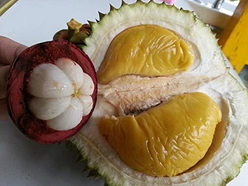 PLAT FIRM SEMILLAS DE GERMINACION: Fruta rara 1 Durian y 2 semillas de mangostán para planta Rey y Reina de la fruta D378