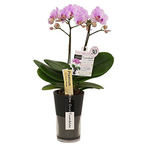 ミニ胡蝶蘭 ギフト オーキッドタンブラースリム チュンリー 2本立 ピンク お花 プレゼント 生花 鉢植え 開店祝い お中元 お歳暮 敬老の日 お祝い 贈り物