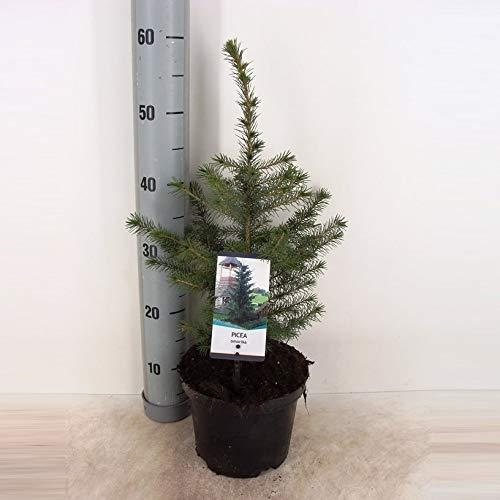 Weihnachtsbaum Serbische Fichte - Picea Omorika - verschiedene Größen (80-90cm Topf 3 Ltr.)