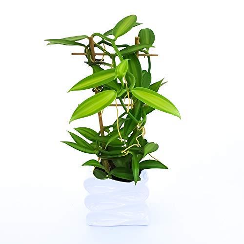 ORCHIDEA VANIGLIA XL IN VASO CERAMICA ONDA, Orchidea Vanilla Planifolia, Pianta Vera