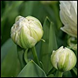 Bulbos de Tulipán Mixtos,Bulbos de Flores,Balcón Decorado,Las Cebollas Crecen En El Jardín, Plantas Exuberantes Y Duras.-30 Bulbos,Blanco